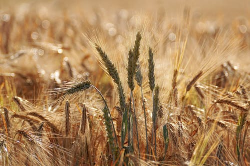 The hay-straw fairy